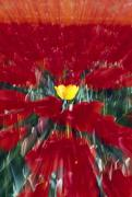 Woodburn Posters - Tulip Field Zoom Effect Poster by Natural Selection Craig Tuttle