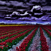 Tulips Art - Tulip Fields by David Patterson