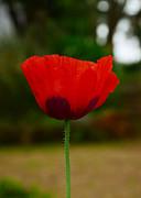 JISS JOSEPH - tulip flower