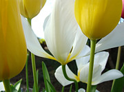 Recent Posters - Tulip Flowers art Prints Yellow White Tulips Floral Poster by Baslee Troutman Fine Art Prints