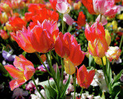 Interior Design Photo Prints - Tulip Garden Print by Rona Black