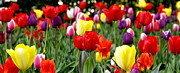 University Of Pittsburgh Framed Prints - Tulip Garden University of Pittsburgh  Framed Print by Thomas R Fletcher