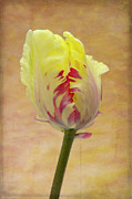 Tulip Flower Framed Prints - Tulip Framed Print by Marion Galt