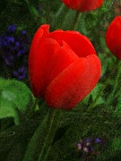 March Photos - Tulip N V  by Chris Berry