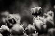 Tulip On Top Print by Justin Albrecht
