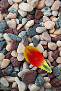 Dew Prints - Tulip petal and wet stones Print by Garry Gay
