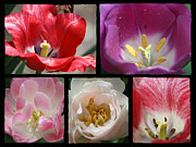 March Photos - Tulip Sampler by Teresa Mucha