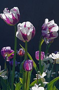 Backlit Tulip Photos - Tulip Springtime Memories by Byron Varvarigos