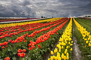 Skagit Valley Posters - Tulip Storm Poster by Mike  Dawson