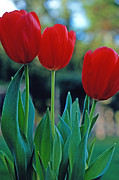 Tulips Prints Framed Prints - Tulip Trio Framed Print by Kathy Yates