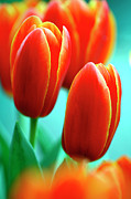 Elite Photos - Tulip (tulipa apeldoorn Elite) by Dr Keith Wheeler