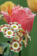 Primula Auricula Photos - Tulip (tulipa fancy Frills) by Archie Young