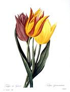 Tulip (tulipa Gesneriana) Print by Granger