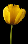 Williams Photo Posters - Tulipa Jaune Poster by Martin Williams