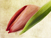 Tulip Mixed Media - Tulipano by Angela Doelling AD DESIGN Photo and PhotoArt