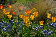 Grape Hyacinths Photos - Tulips and Grape Hyacinths and by Byron Varvarigos