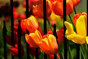Huisken Prints - Tulips and Wrought Iron Print by Lyle  Huisken