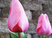Flower Photographs Photo Prints - TULIPS ARTWORK FLOWERS 26 PINK Tulip Flowers Art Prints Nature Floral Art Print by Baslee Troutman Art Prints Giclee