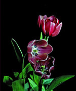 Flower Works Prints - Tulips. Print by Chris  Kusik