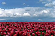 Large Group Of Objects Art - Tulips Festival by Taken by Simon Yu