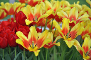 Flower Design Photo Prints - Tulips Glorious Tulip Monsella Print by Debra  Miller