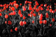 Flower Bed Prints - Tulips Print by Hristo Hristov