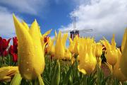Nurseries Prints - Tulips In A Field And A Windmill At Print by Craig Tuttle