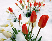Floral Photographs Posters - Tulips In The Snow Poster by Steven Milner