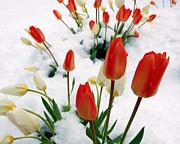 Tulips In The Snow Print by Steven Milner