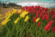Woodburn Photos - Tulips in the Wind by Dale Stillman