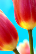 Tulips Prints Framed Prints - Tulips on Blue Framed Print by Kathy Yates