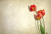 Heather Swan - Tulips on Parchment