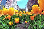 Ultra Wide Angle Lens Posters - Tulips on Park Avenue Poster by Jeff Landau