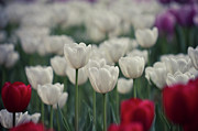 Tulips Print by Pan Hong