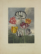 Tulips Drawings Prints - Tulips Print by Robert John Thornton