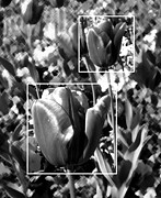 Monochrome Acrylic Prints - Tulips by Roberto Alamino