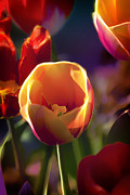 Pretty Flowers Prints - Tulips Through Rose Colored Glass Print by Bill Tiepelman