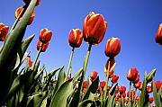 Artwork Flowers Prints - Tulips time 3 Print by Robert Pearson