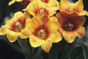 Early Photo Prints - Tulips (tulipa early Harvest) Print by Adrian Thomas