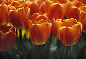 Elite Photos - Tulips (tulipa oxfords Elite) by Adrian Thomas