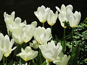 B Rossitto - Tulips White
