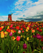 Woodburn Posters - Tulips Windmill 2 Poster by Dale Stillman