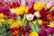 Woodburn Posters - Tulips With Zoom Blur Poster by Natural Selection Craig Tuttle