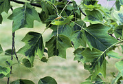 Tulip Tree Prints - Tuliptree aureomarginata Leaves Print by Adrian Thomas