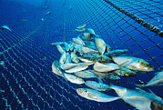 Pisciculture Prints - Tuna Fish Farm Food Print by Alexis Rosenfeld
