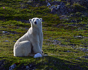 Polar Bear (ursus Maritimus) Posters - Tundra Bear Poster by Tony Beck
