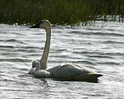 Swans... Posters - Tundra Swan and Signets Poster by Anthony Jones