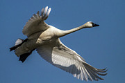 Swans Art - Tundra Swan by Bill Lindsay