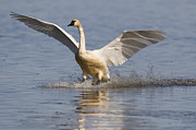 Swan In Flight Prints - Tundra Swan Landing Tule Lake National Print by Sebastian Kennerknecht