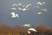 Swan Framed Prints - Tundra Swan Takeoff Framed Print by Mike  Dawson